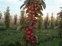 Pomi fructiferi pitici columnari