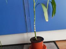 Bambus pui - planta decorativa apartament