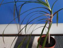 Dracena, cactus pui - plante decorative apartament