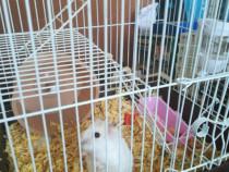 Hamsteri pitici