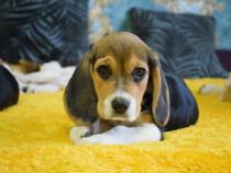 Pui beagle tricolor si bicolor