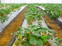 Folie de muclire pentru culturi de legume, fructe, verdeturi