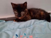 Cleutele pui pisica calico adoptie