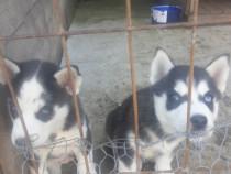 Catei husky siberieni rasa pura din parinti pedigree
