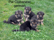 Catei ciobanesc german