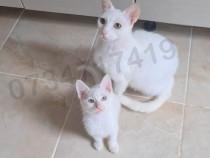 Pui de pisica Angora Turceasca 3 luni