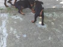 Pui jagd terrier