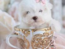 Bichon maltez tea-cup