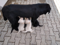 Pui Labrador