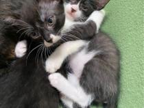 Pui de Pisici spre adoptie