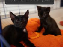Lulupui pisica neagra