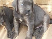 Pui cane corso blue