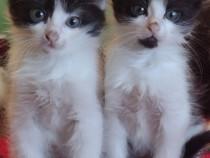 Pisici Persană motanei