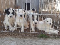 Câini Asia Centrală