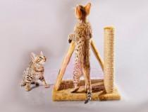 Pisici bengaleze bucuresti oradea brasov constanta iasi