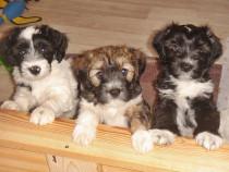 Catei Terrier Tibetan