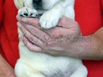 Pui Labrador Retriever cu Pedigree tip A