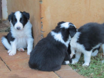 Catei Border Collie