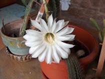 Cactus ce înfloreşte de 2-3 ori pe vară