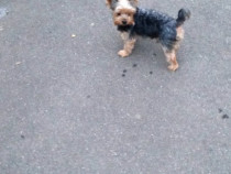 Yorkshire terrier pt monta