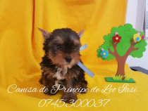 Pui yorkshire terrier - Canisa de Principe de Leo Iasi