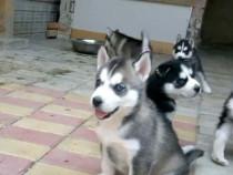 Husky corect crescuti si cu tratamentele la zi