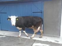 Vaca cu vitel