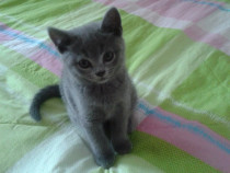 Pixel - motanel british shorthair blue
