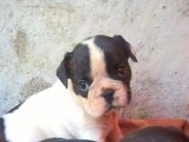 Bulldog francez femela alb-negru!!