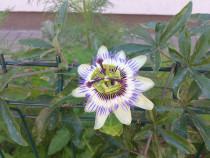 Butași Passiflora / floarea pasiunii - face flori superbe
