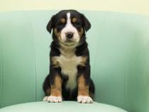Pui Marele Câine de Munte Elvețian-GreaterSwissMountainDog