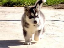 Cățel husky