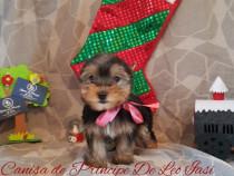 Yorkshire terrier cu pedigree- Canisa De Principe De Leo