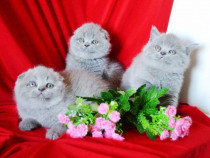 Pui british shorthair si scotish fold diverse culori