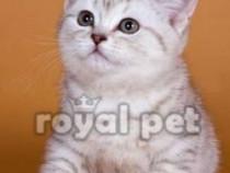 Pisici british shorthair bucuresti