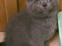 Pui British Shorthair Blue