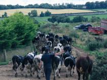 Lucratori ferme vaci si porci in irlanda si uk