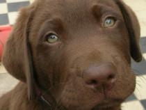 Femele si masculi pui labrador retriever ciocolatiu