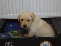 Mascul Labrador 6 saptamani