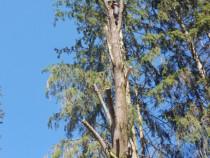 Dobor arbori periculosi cu drujbe profesionale