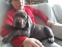 Pui de dog german albastru,gri,blue!!