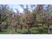 Tuica de mere ( palinca )