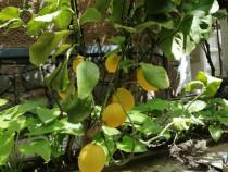 Pom fructiferi de lamai
