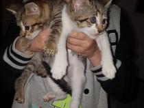 Pisici de casa