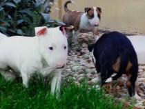Pui de bullterrier bull teriier bullTerrier bull Terrier
