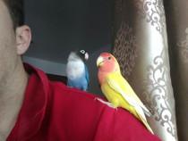 Pui papagal agapornis sau pereche reproducatoare (amorezi)