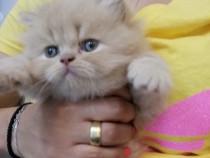 Pisici persane pui