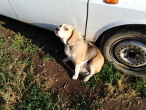 Beagle femelă