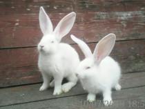 Schimb iepuri cu baloți lucernă