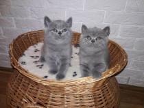 Pisici british sorthair